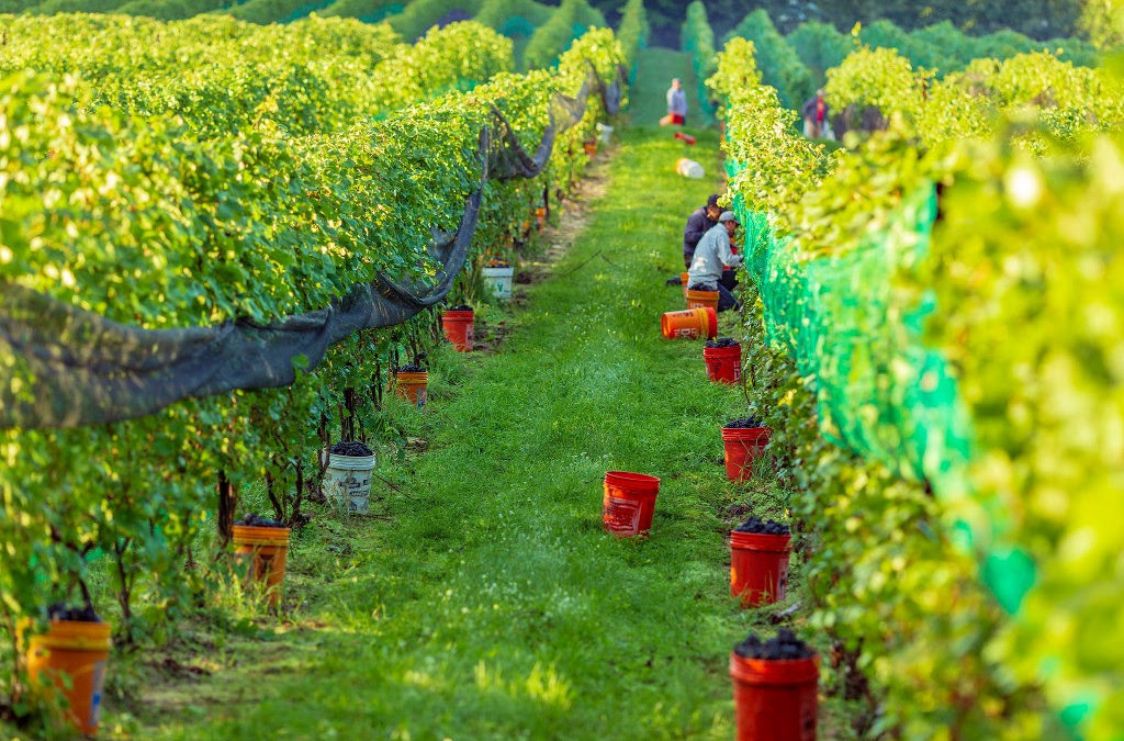 vineyard and grape picking